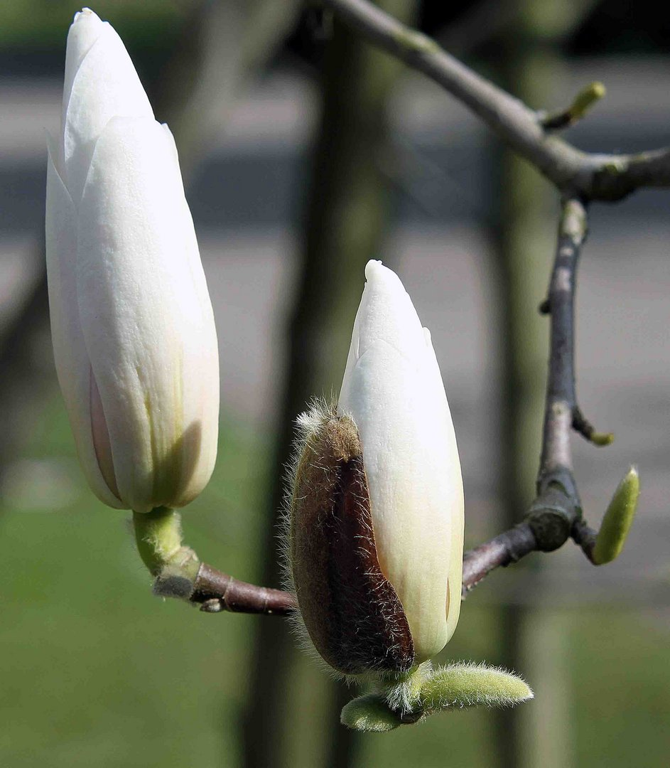 Weisse Magnolie vor dem blühen