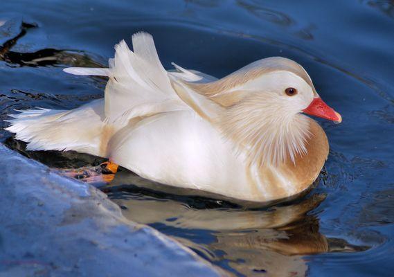 Weiße Mandarin Ente .