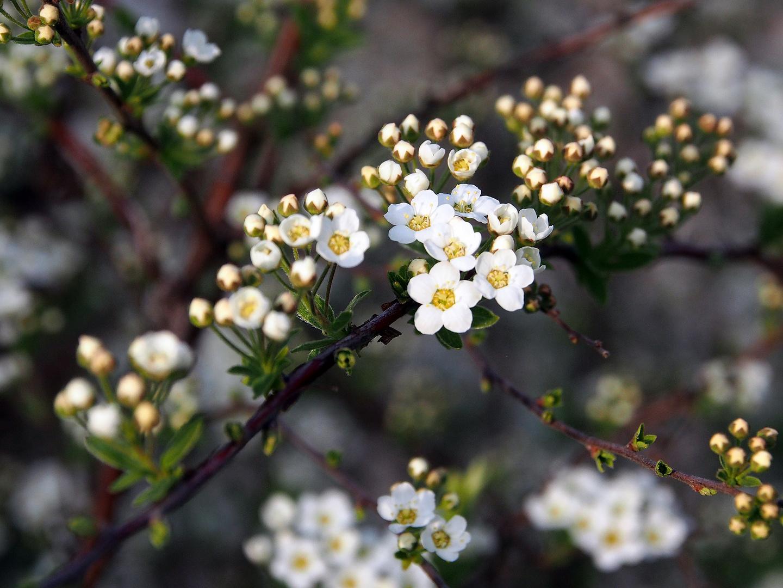 Weiße Miniblüten...