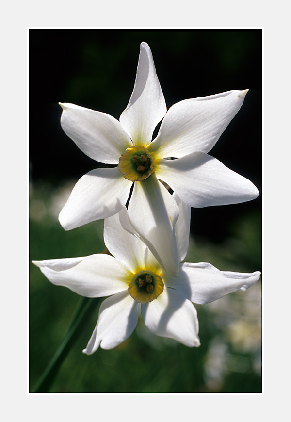Weiße Narzisse (Narcissus poeticus) III