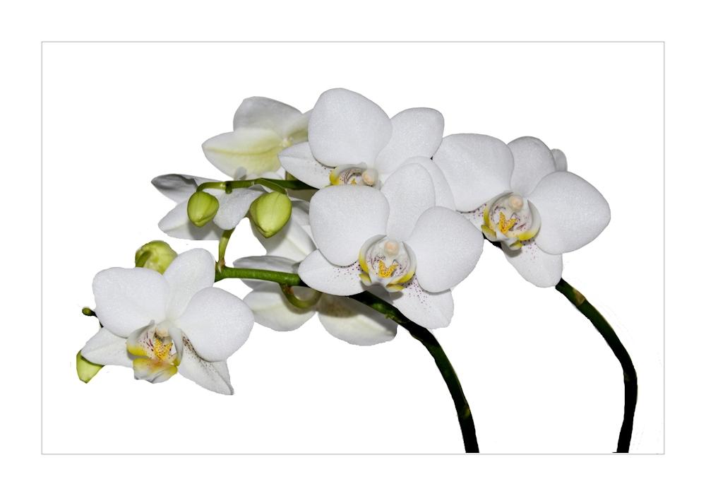 wei e orchidee foto bild pflanzen pilze flechten bl ten kleinpflanzen orchideen. Black Bedroom Furniture Sets. Home Design Ideas