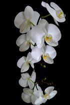Weiße Orchidee ....
