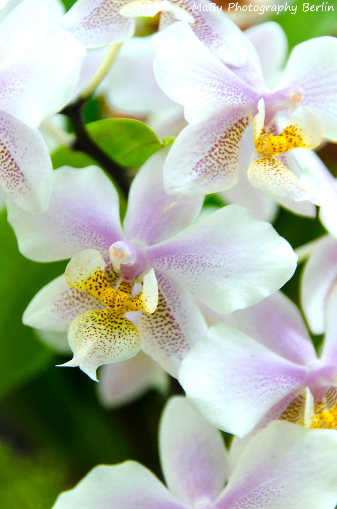 Weiße Orchideen - White Orchids