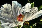 weisse Päonienblüte
