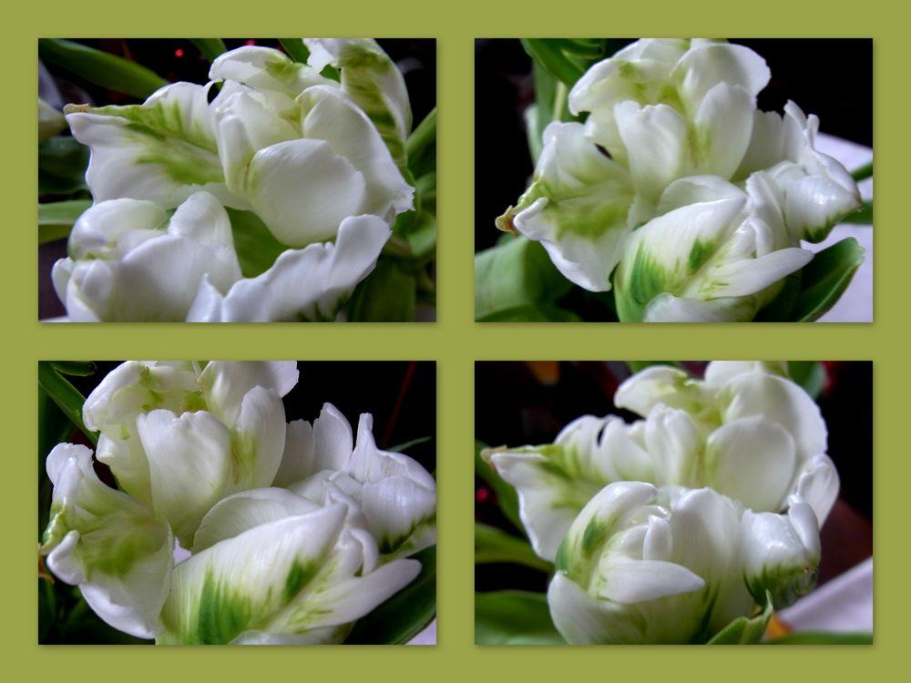 wei e papageien tulpen foto bild pflanzen pilze flechten bl ten kleinpflanzen. Black Bedroom Furniture Sets. Home Design Ideas