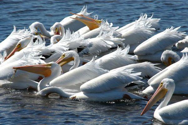 Weiße Pelikane auf Sanibel Island, Florida