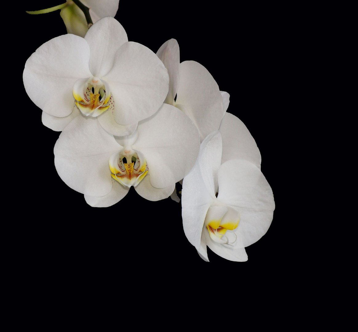 weisse phalaenopsis orchidee foto bild pflanzen. Black Bedroom Furniture Sets. Home Design Ideas