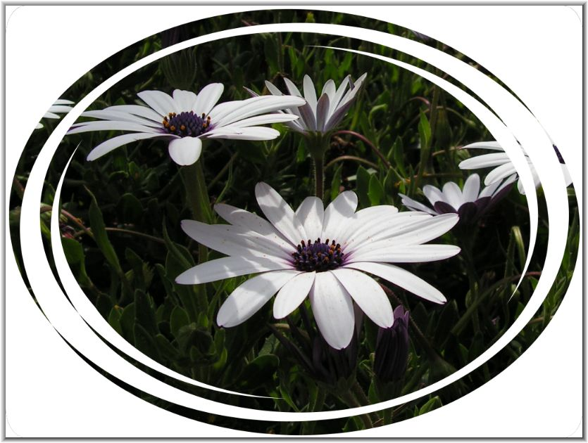 Weiße Portugal-Blüten