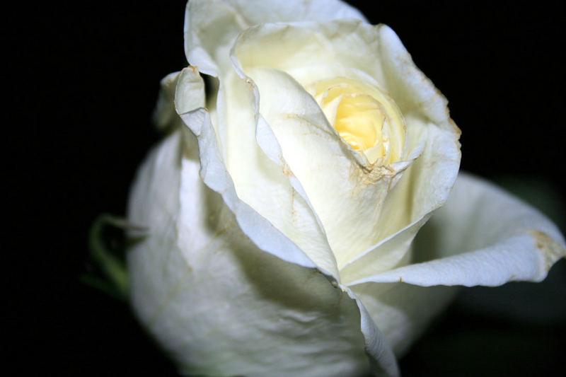 weiße rose 2