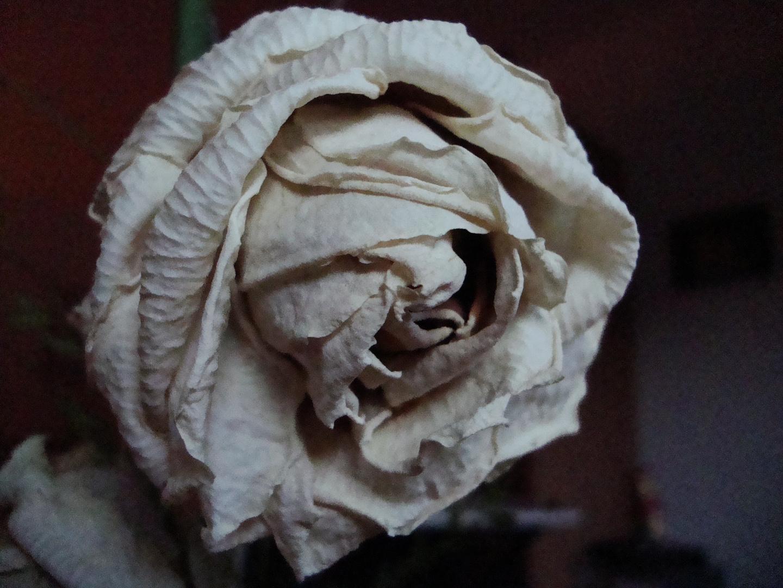 weiße Rose.