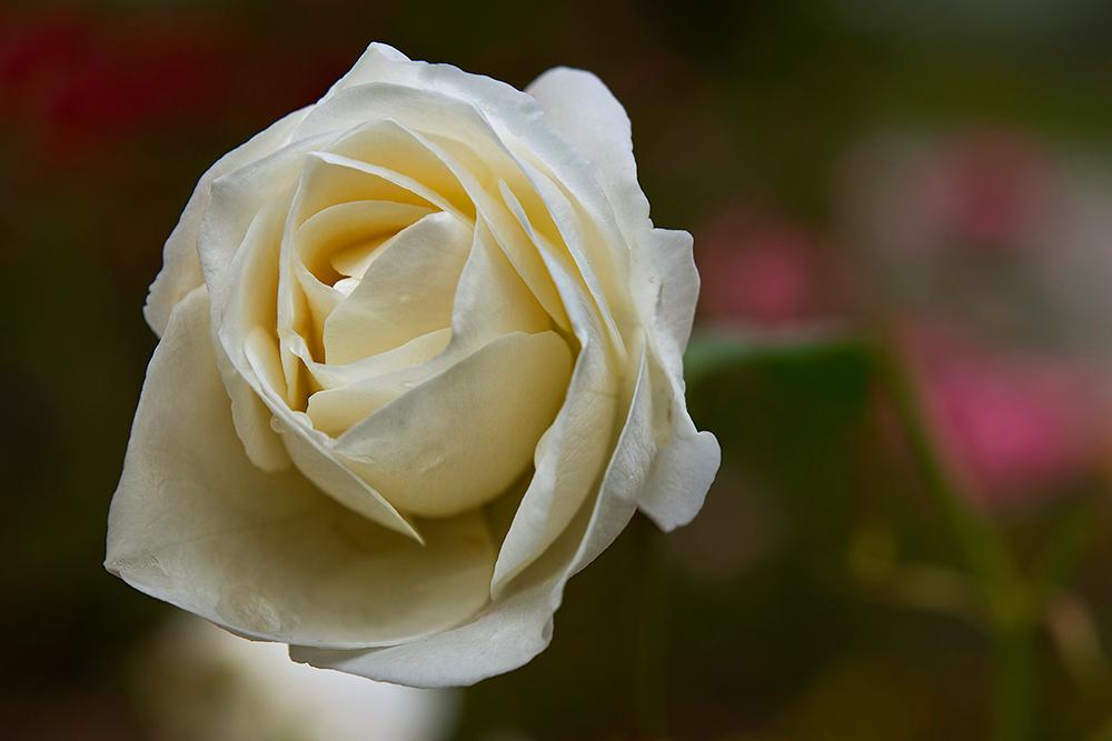 ... weisse Rose ...