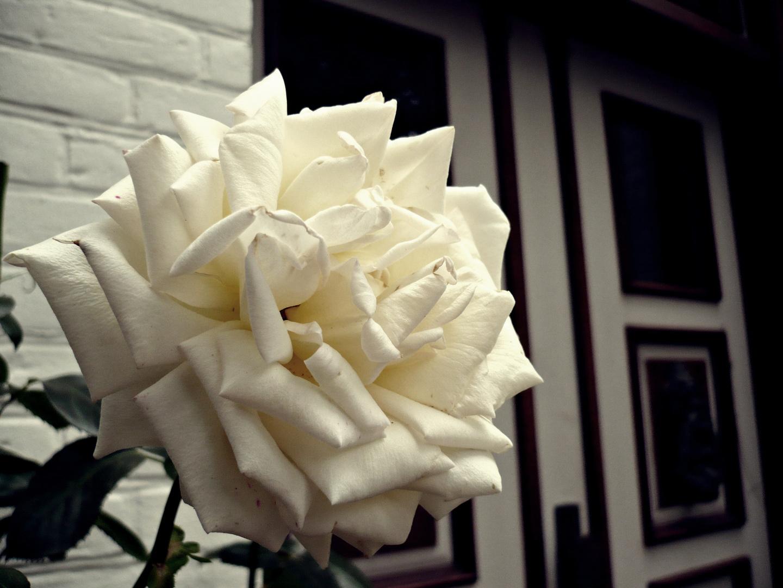 Weiße Rose am Hauseingang