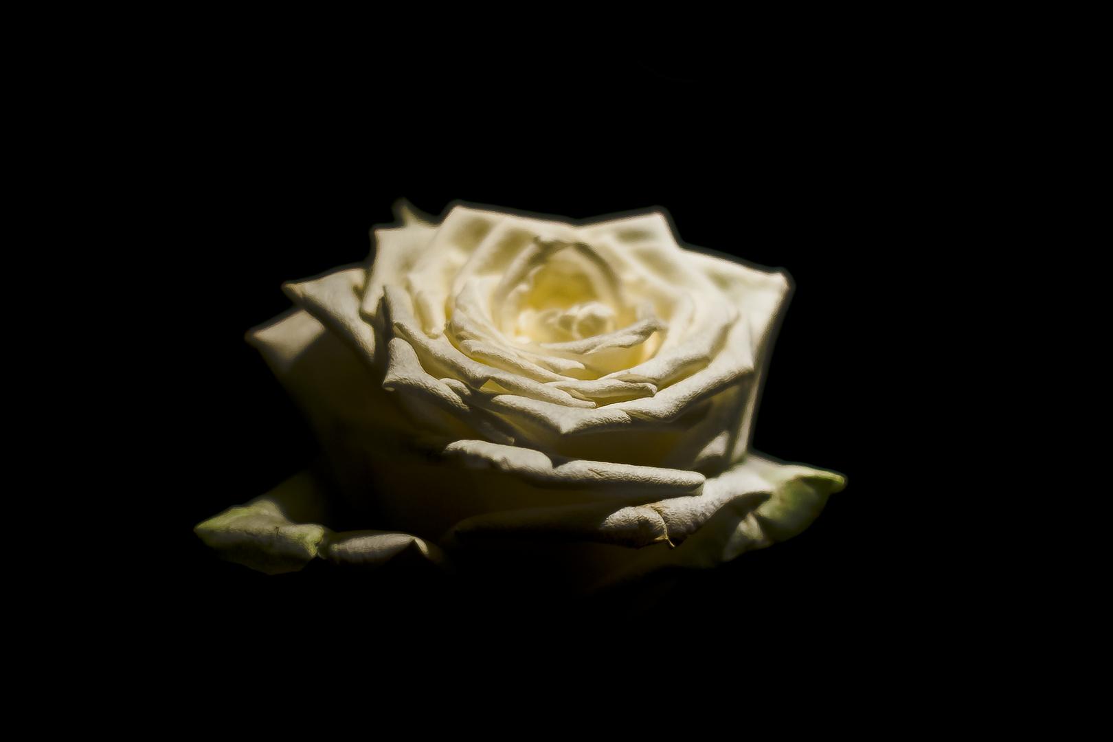Weisse Rose aus dem Schwarz