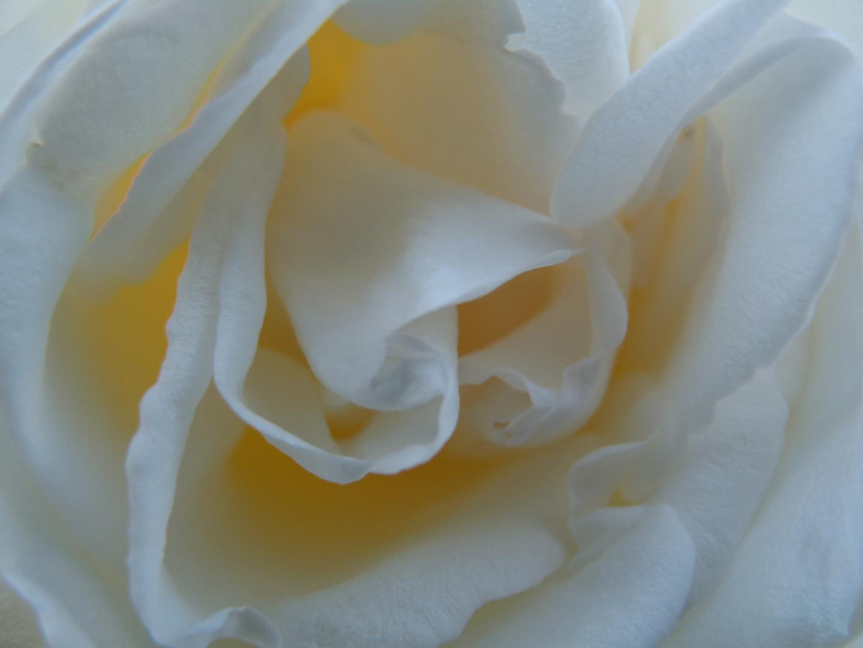 Weiße Rose ganz nah