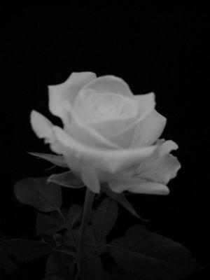 Weiße Rose I