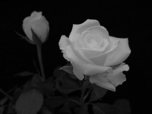 Weiße Rose II