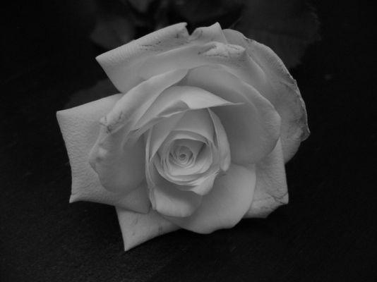 Weiße Rose III