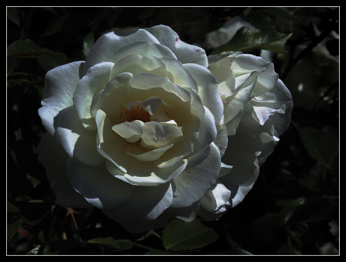 weiße Rose im Abendlicht