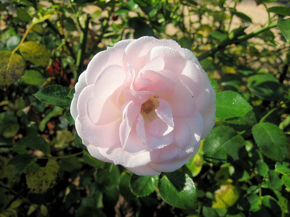 Weisse Rose im Morgentau