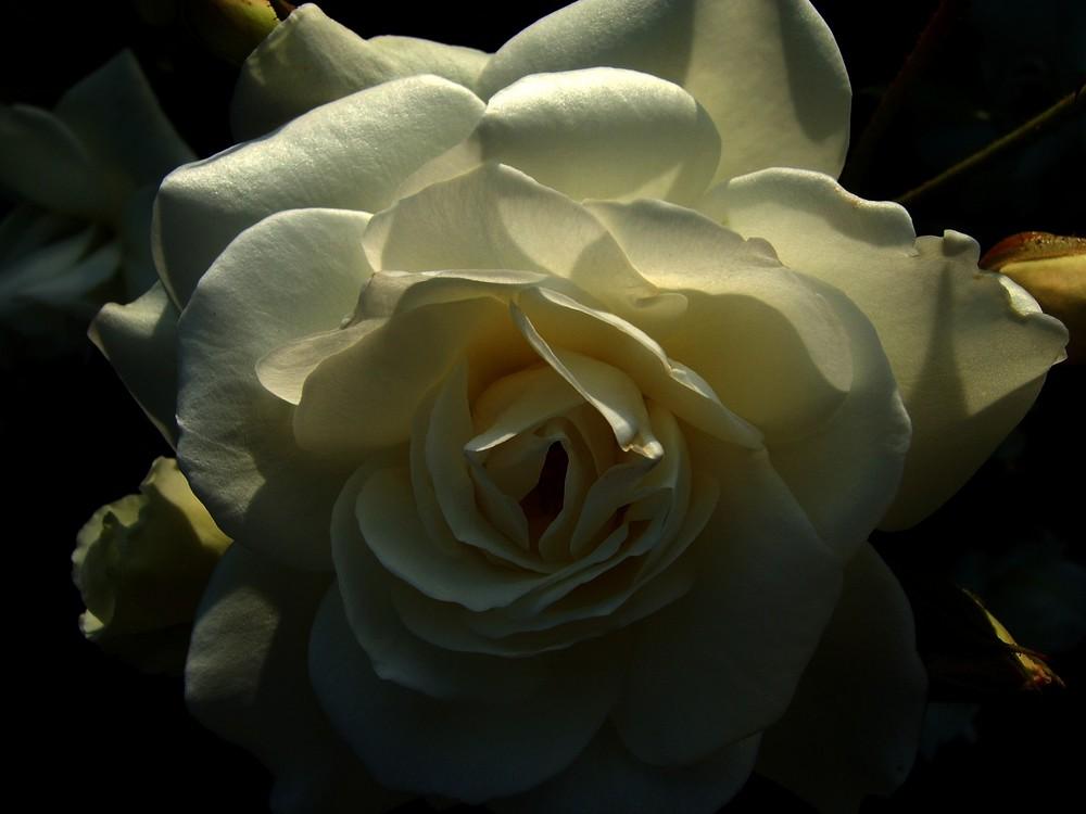 Weiße Rose im Sonnenuntergang