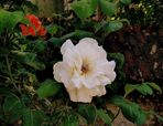 Weiße Rose in Düssel..........