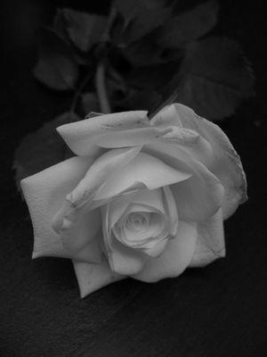 Weiße Rose IV