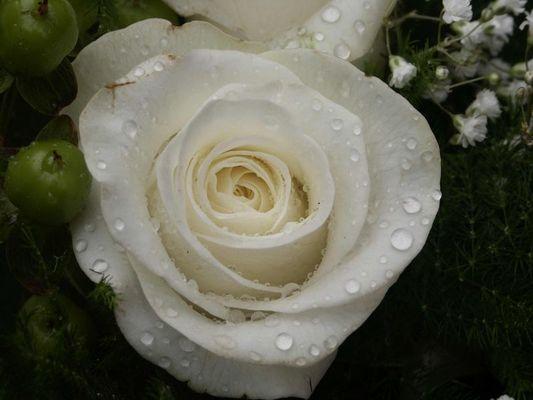 Weiße Rose mit Regentropfen