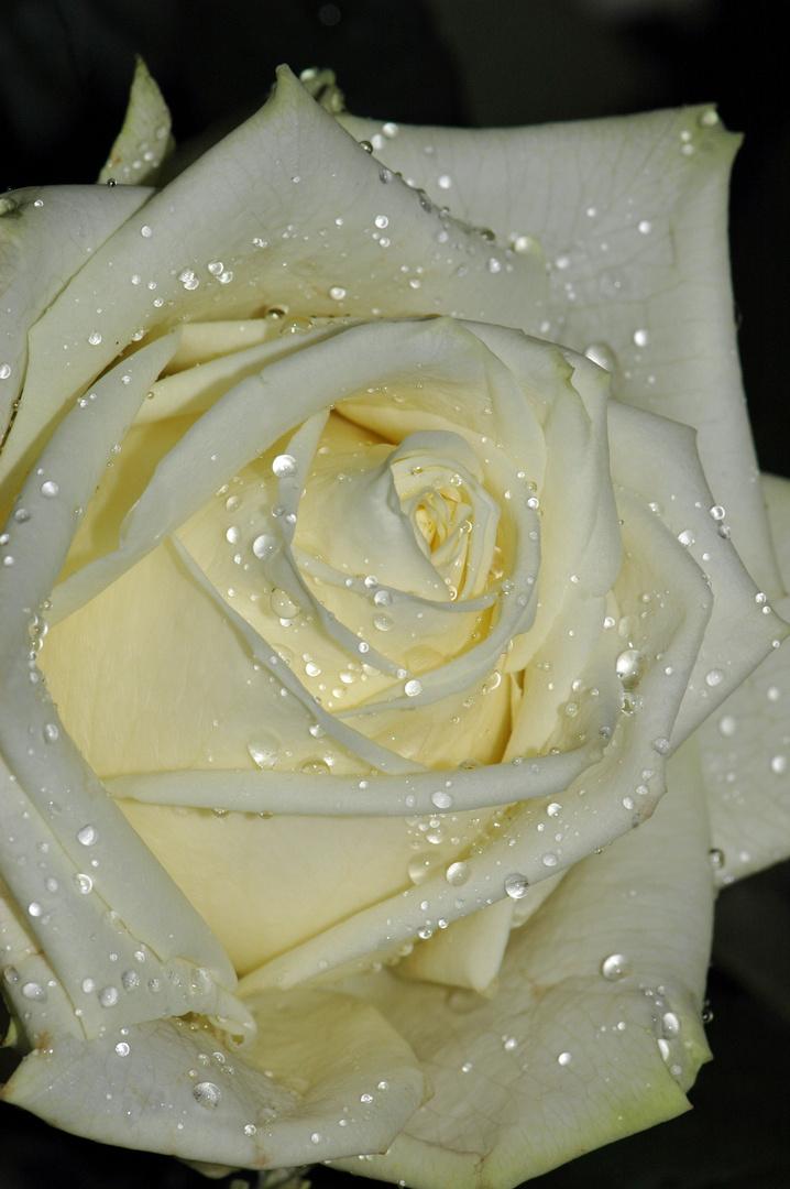 wei e rose nach mildem regen foto bild pflanzen pilze flechten bl ten kleinpflanzen. Black Bedroom Furniture Sets. Home Design Ideas