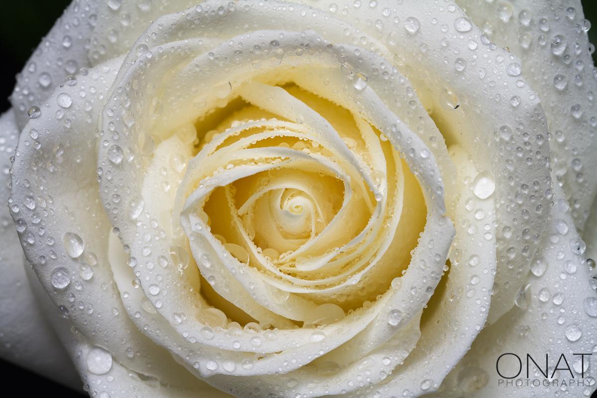 weisse Rose und Tropfen