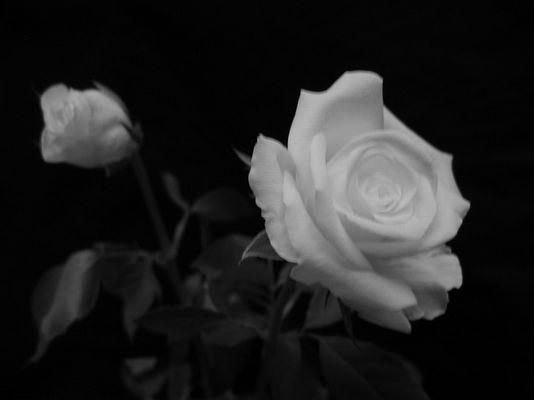 Weiße Rose V