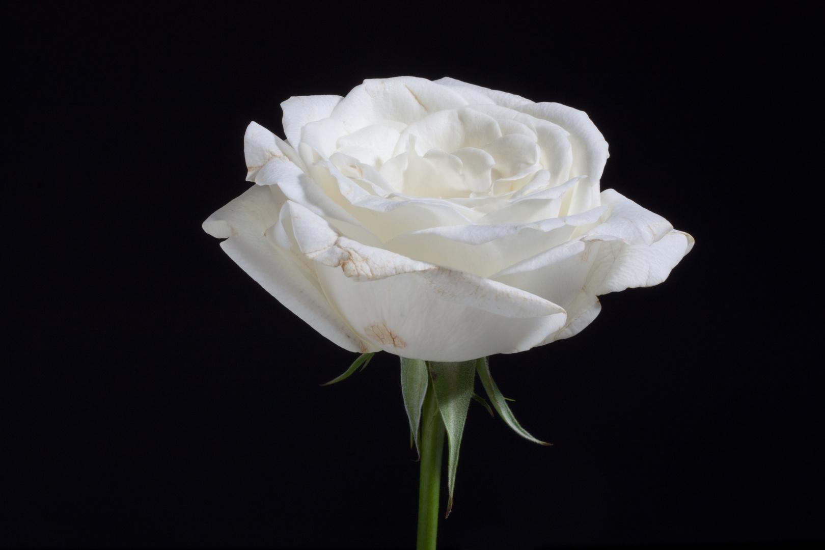 weisse Rose vor schwarzer Wand