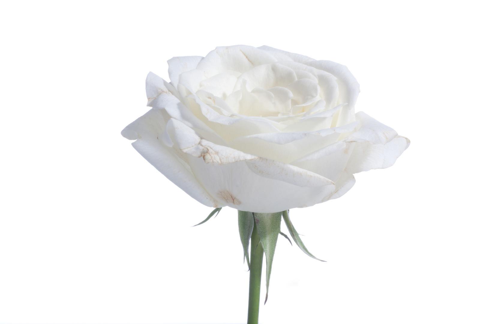 Weisse Rose vor weisser Wand