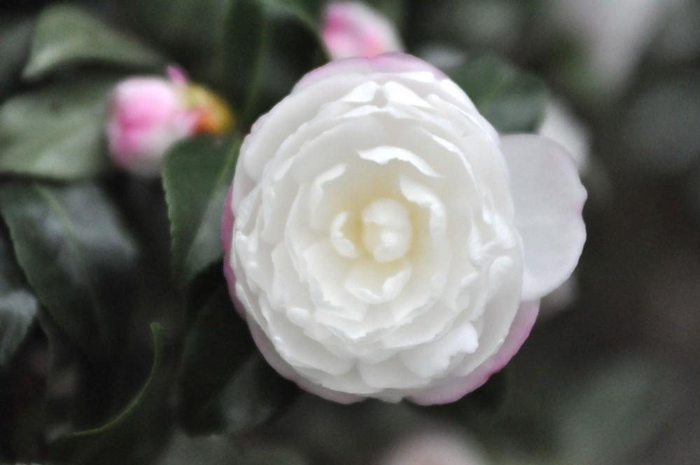 Weisse Rose1