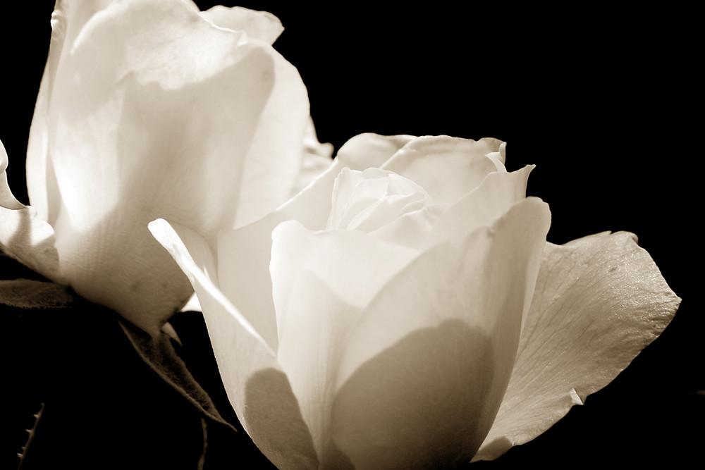 ~ weiße Rosen ~