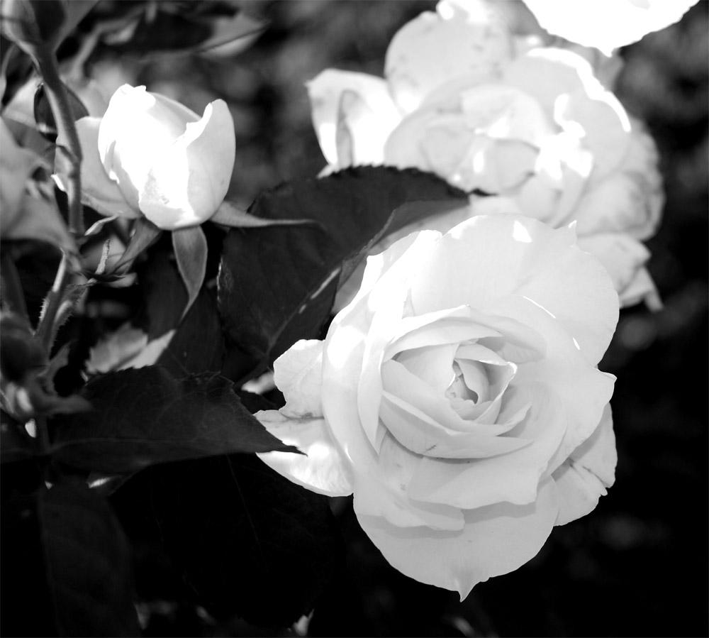 Weisse Rosen