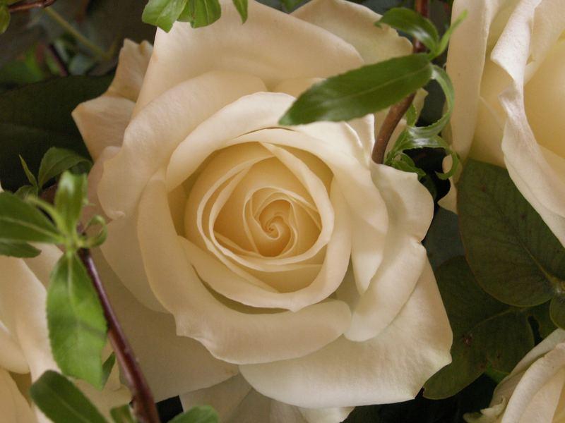 Weiße Rosen aus ...