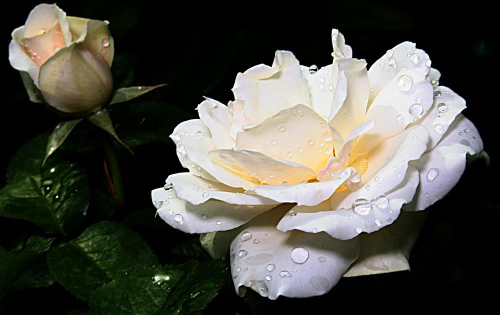 weisse rosen aus meinem garten foto bild pflanzen pilze flechten bl ten kleinpflanzen. Black Bedroom Furniture Sets. Home Design Ideas