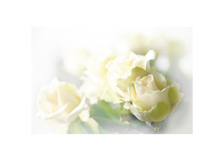 Weiße Rosen......