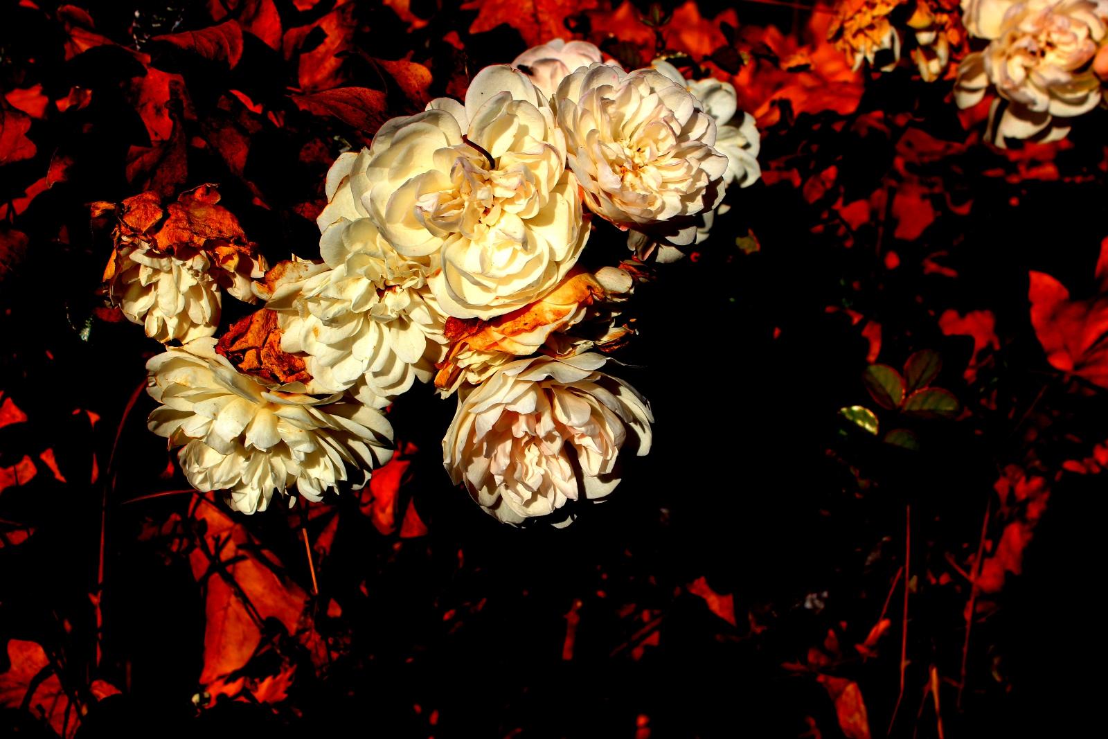 weisse Rosen im Herbst