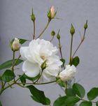 Weisse Rosen im Herbst - 4