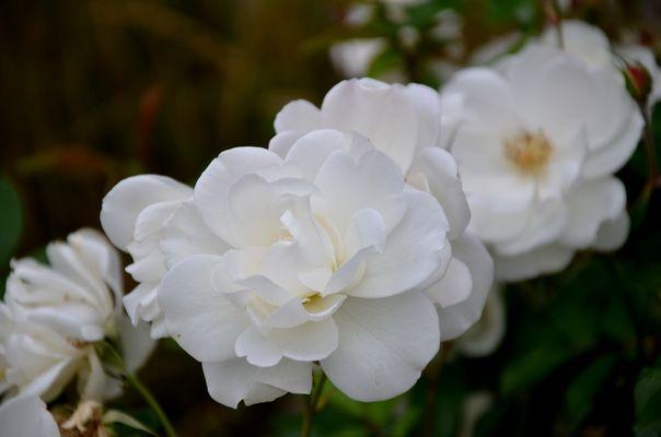 Weisse Rosen in Altenmarkt