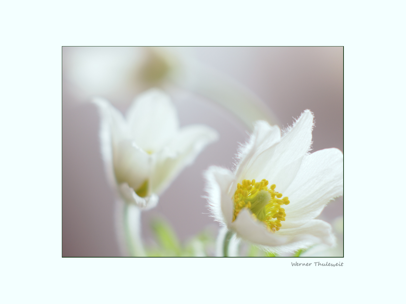 Weiße Schöne