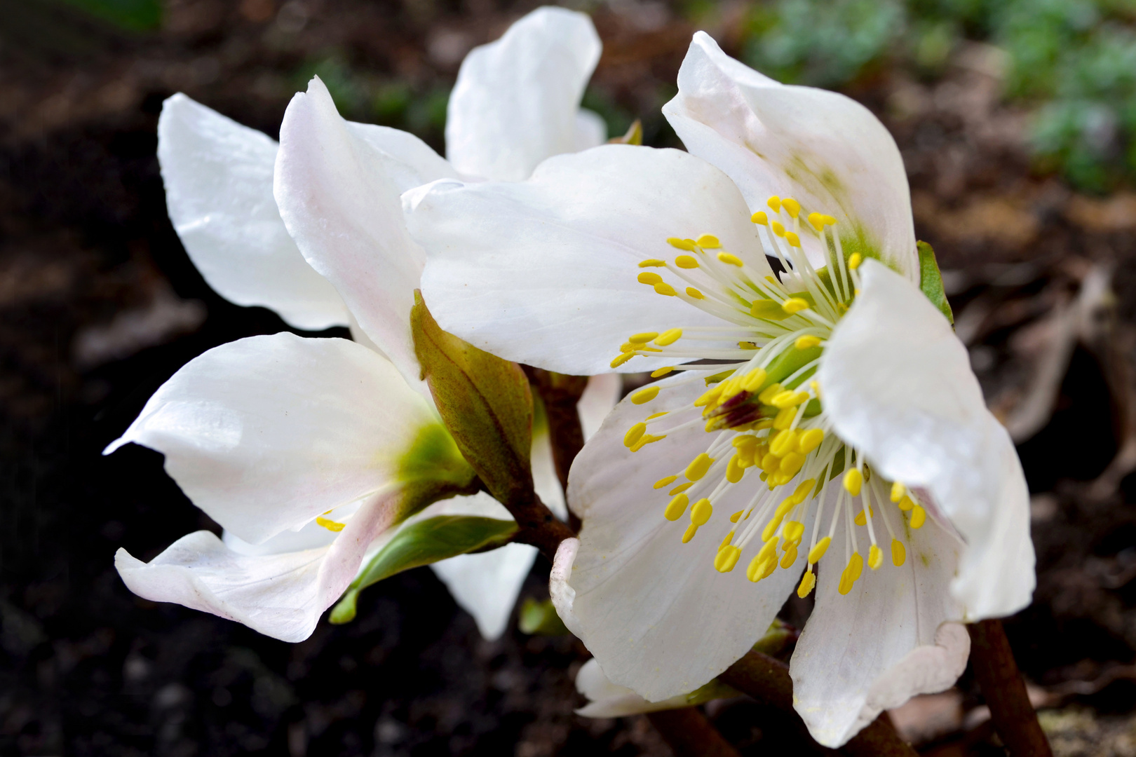 ~ weiße Schönheit ~