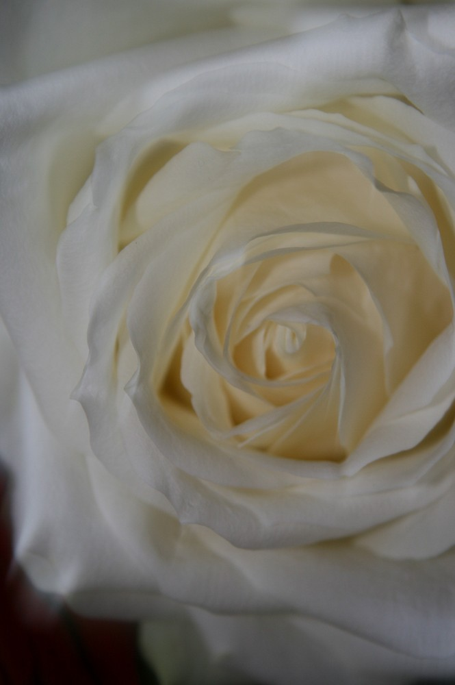 Weisse Schönheit