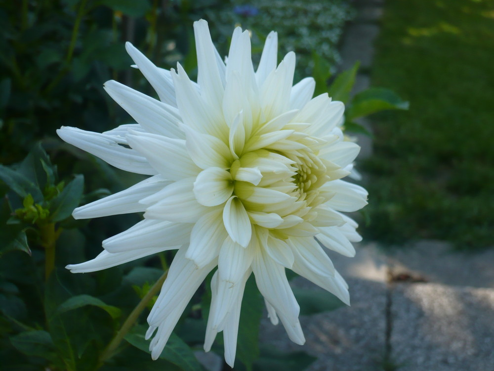 weiße Schönheit