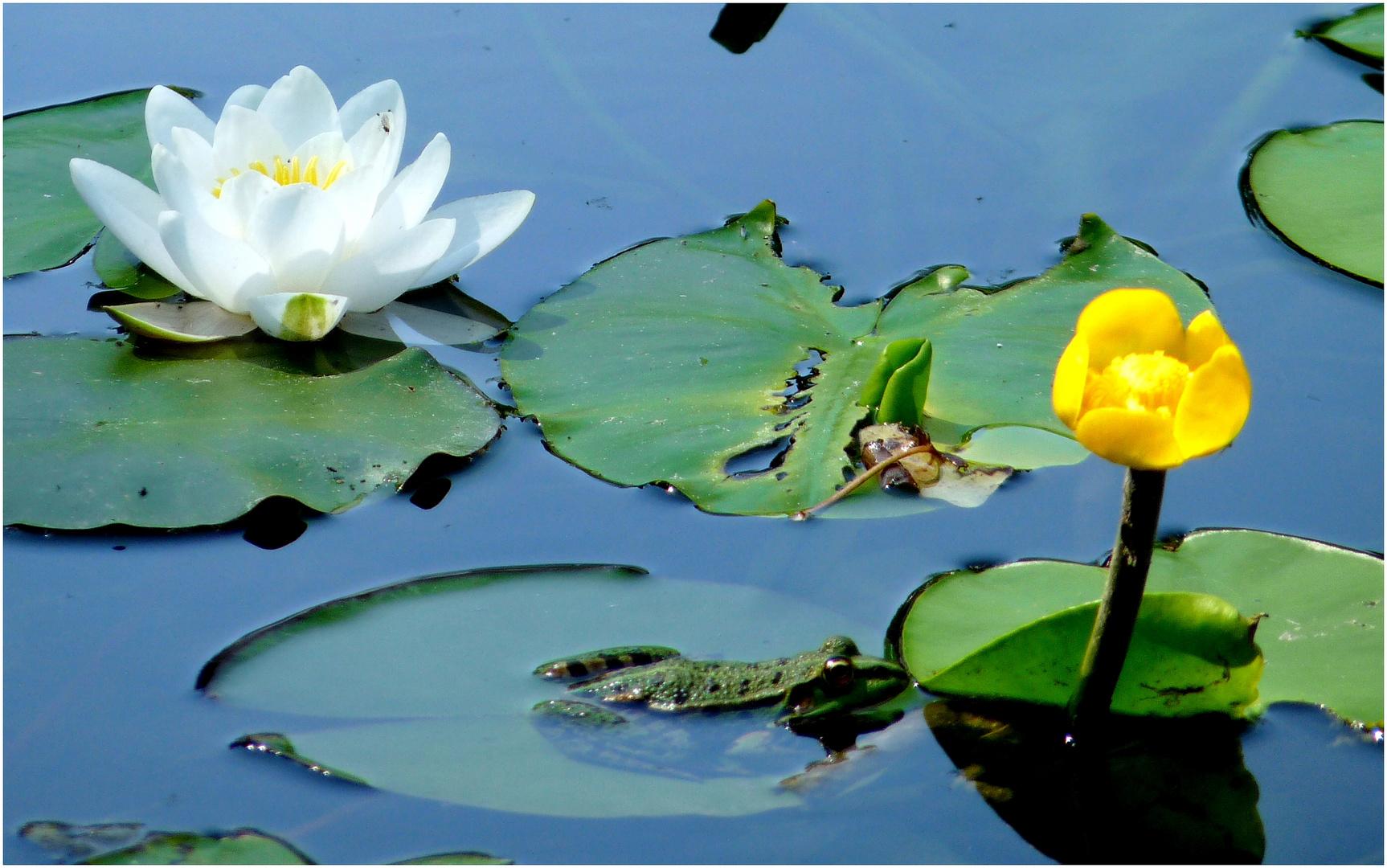 weiße Seerose und gelbe Teichrose