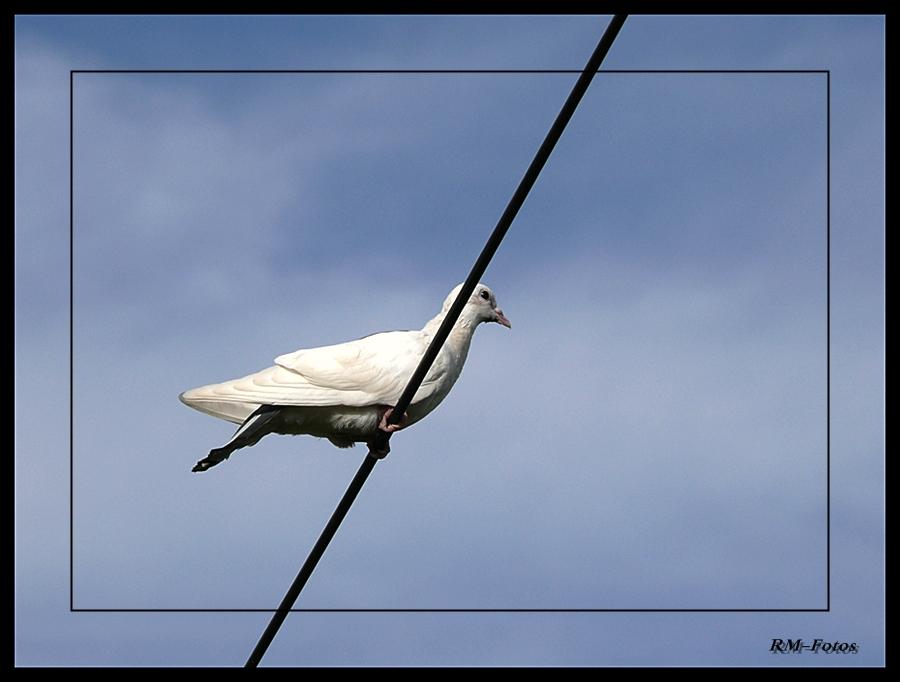 weiße Taube....