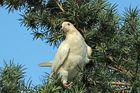 Weiße Taube im Garten