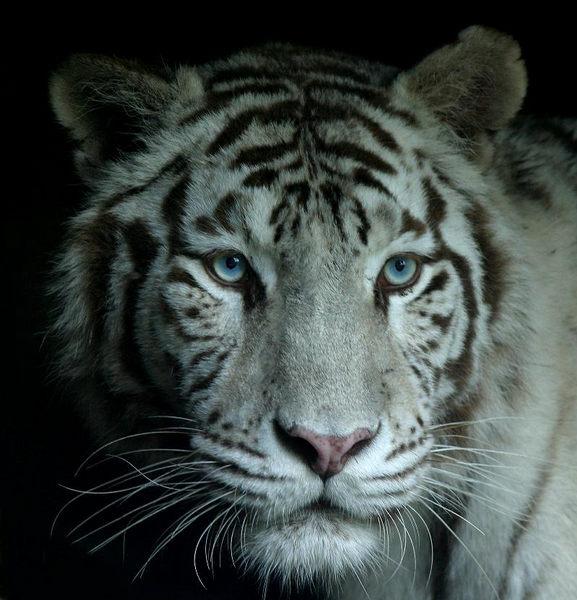 weisse tiger foto bild tiere zoo wildpark falknerei s ugetiere bilder auf fotocommunity. Black Bedroom Furniture Sets. Home Design Ideas