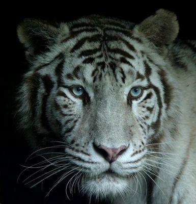 Weisse Tiger.